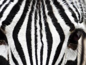 Inspiration illusion deco zebre
